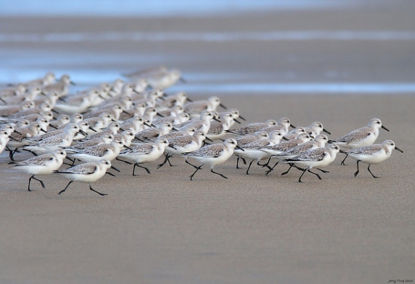sanderlings-birds-beach