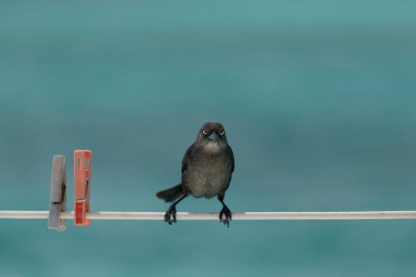 bird-line-clothesline
