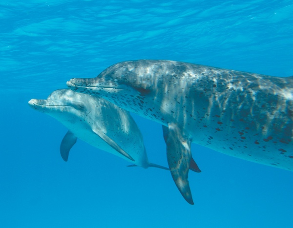 An Atlantic spotted dolphin, An Atlantic spotted dolphin mother and calf, Bimini, Bahamas, 2007