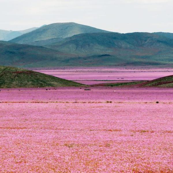 flowers-desert-mallow-atacama-chile-santiago