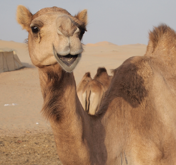 hump-day-camel-wednesday