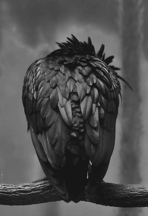black-bird-raven