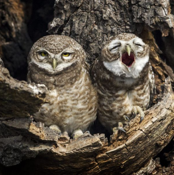owl-sleepy-yawn-nepal-cute-adorable