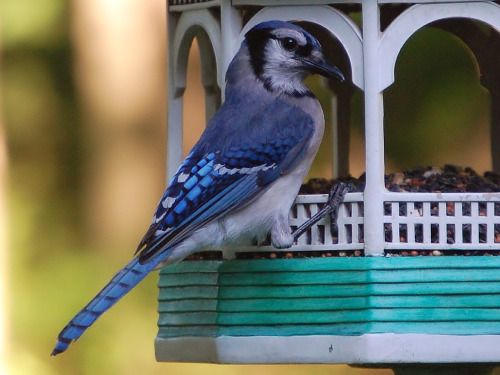 blue-jay-bird-feeder