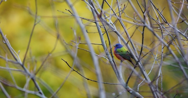 painted-bunting-bird