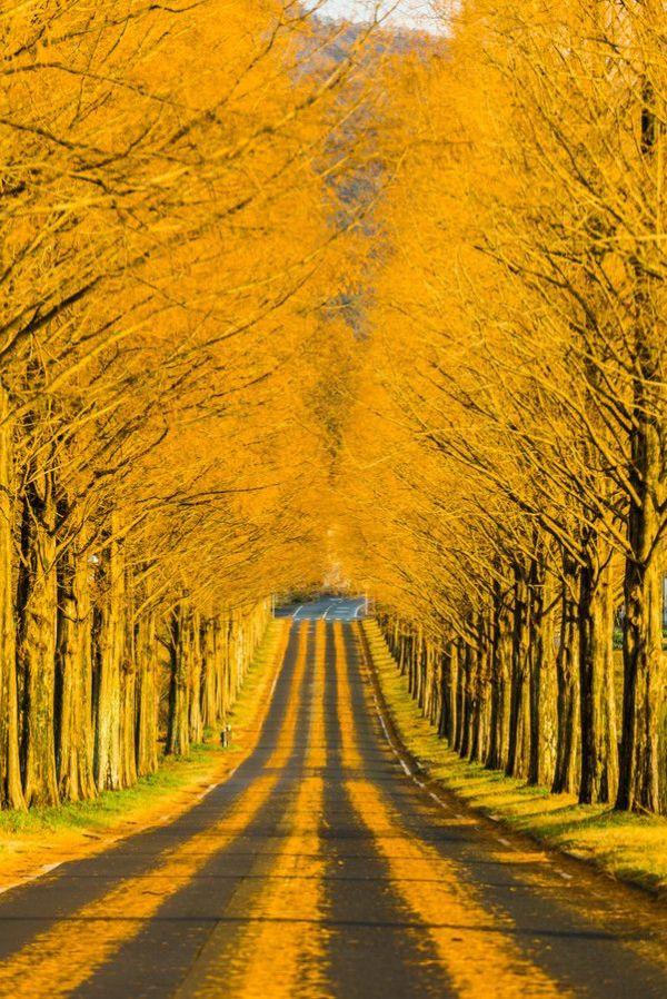japan-fall-autumn-trees-color-yellow-road