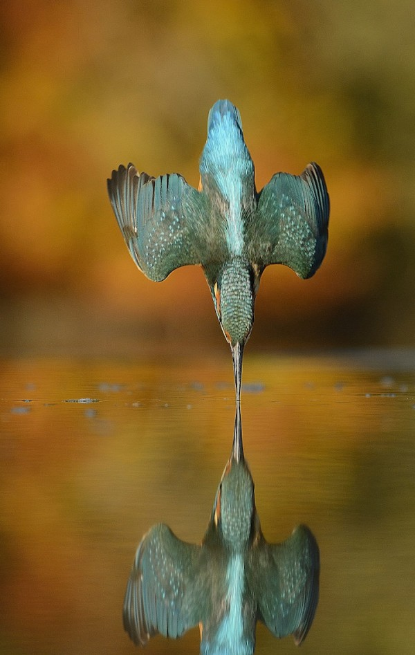 kingfisher-reflection-