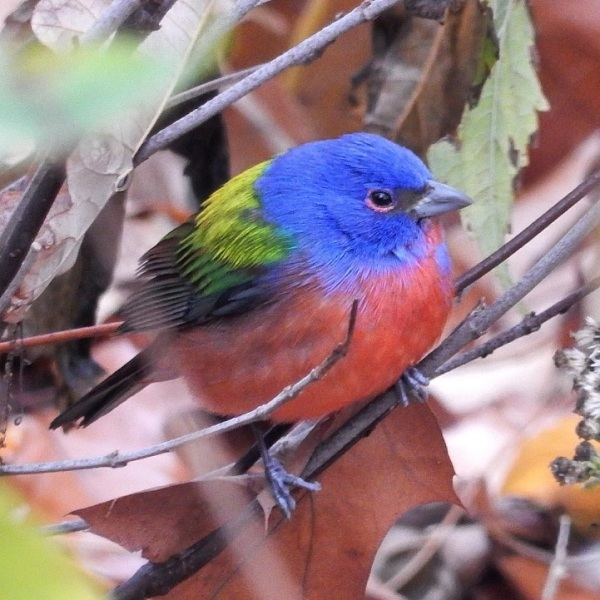 painted-bunting-bird-2