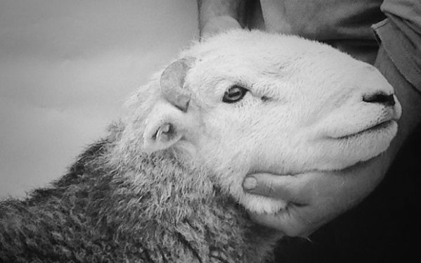 lamb-james-rebanks-cute