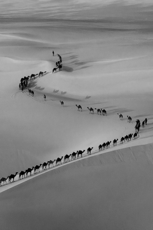 camels-hump-day-wednesday-black-and-white