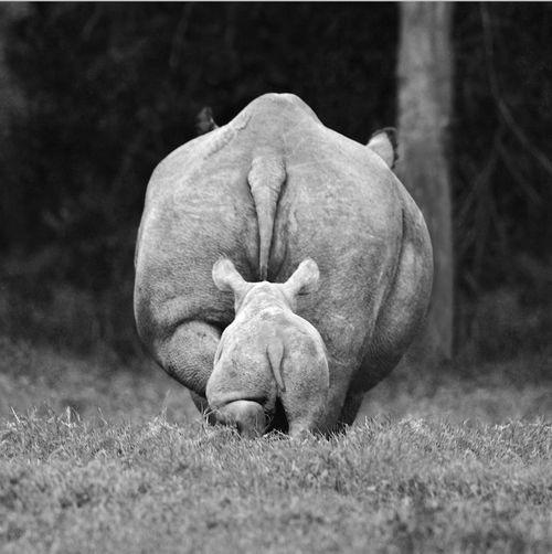 hippo-conservation-hippopatamus-