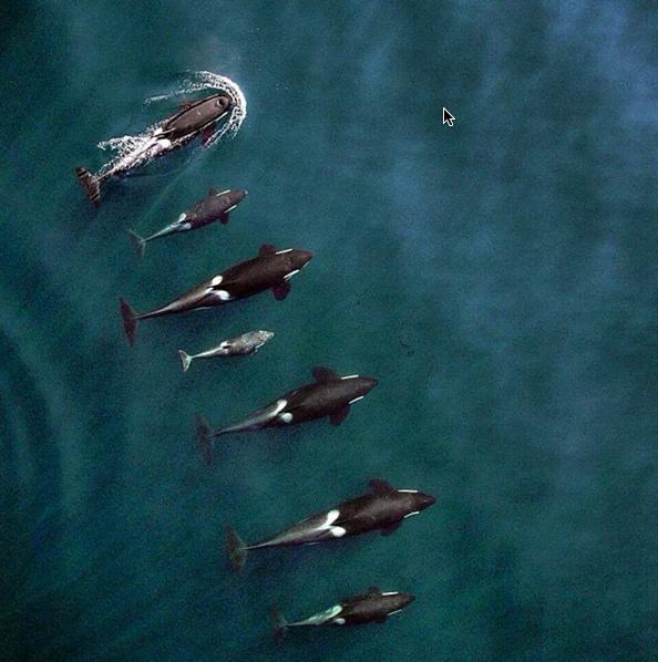 orca-killer-whale-pod-drone