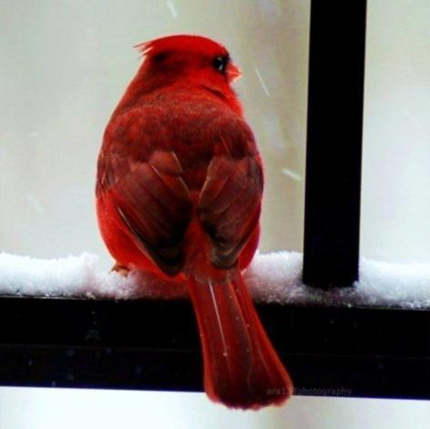red-cardinal-bird
