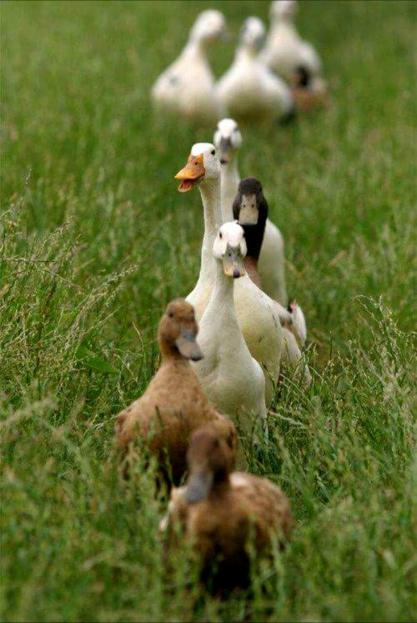 Goose-geese-duck-funny-tgif