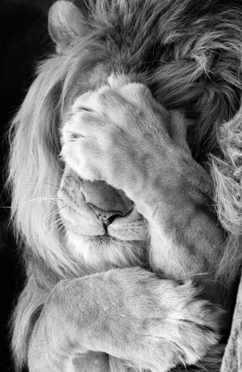 lion-funny-tgif-t.g.i.f.