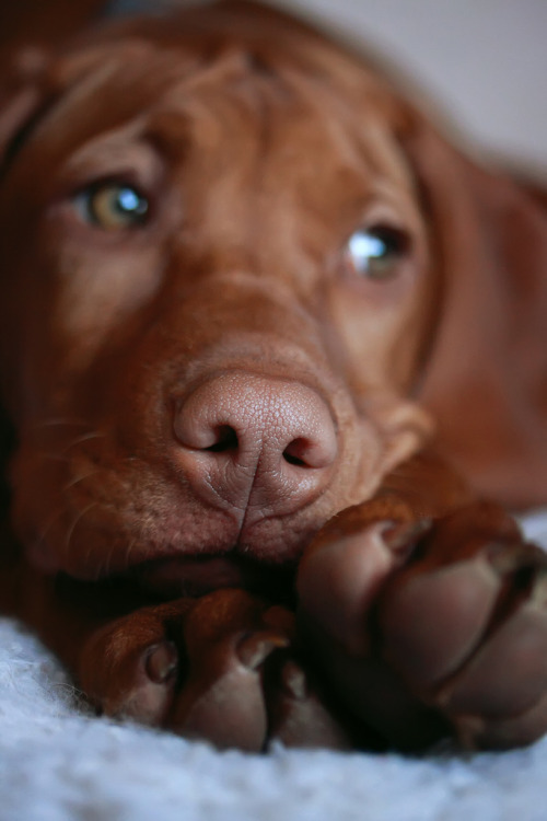 vizsla-dog-pet