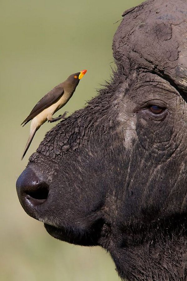 African-Buffalo-yellow-billed-oxpecker