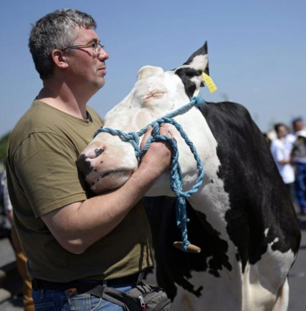 cow-hug