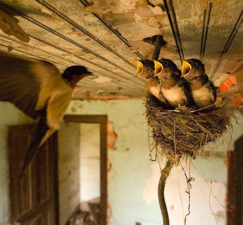birds-swallow-feeding-nest