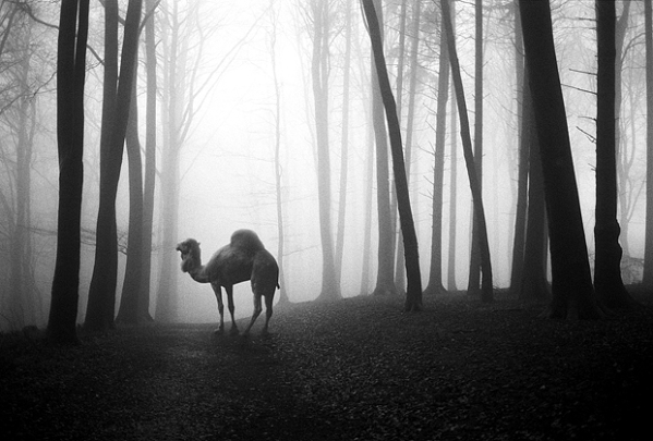 camel-photography-mist-forest-woods