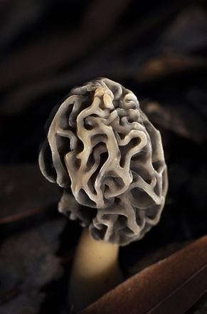 morel-mushroom