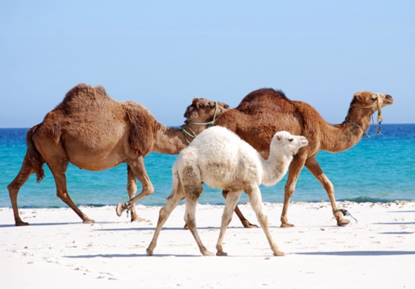 camel-hump-day-wednesday-caleb