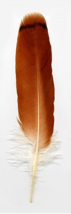 red-tailed-hawk-feather