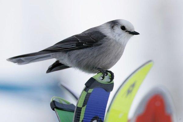 gray-jay-bird-canada