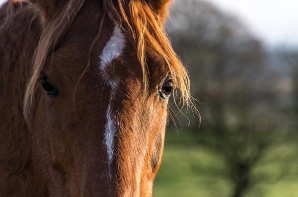 horse-close-up