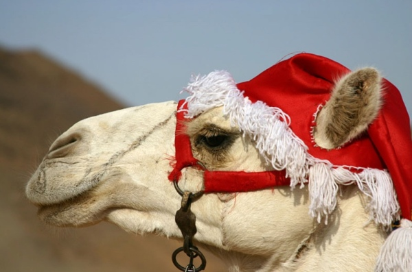 camel-hump-day-christmas-wednesday