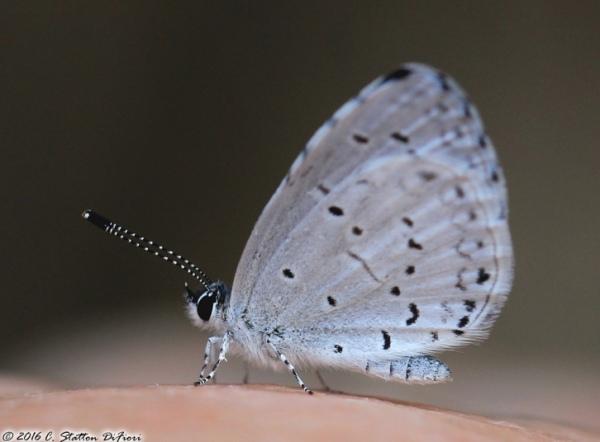 azure-butterfly-hand