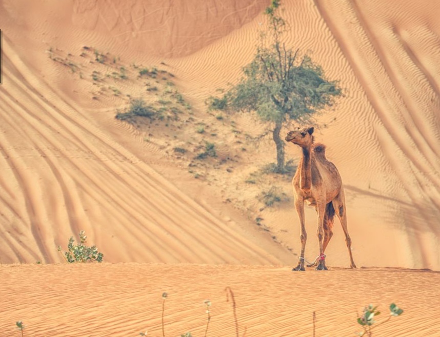 camel-hump-day-jpg