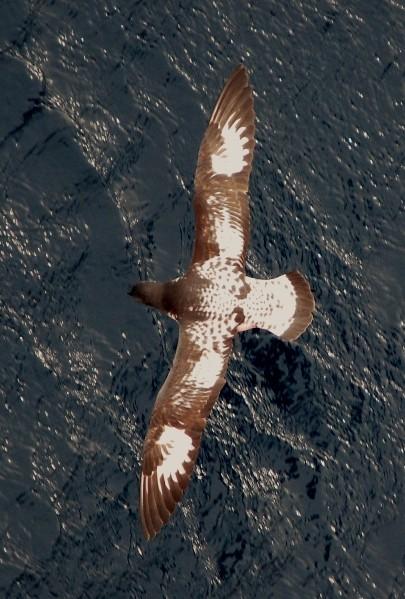cape-pigeons-aerial