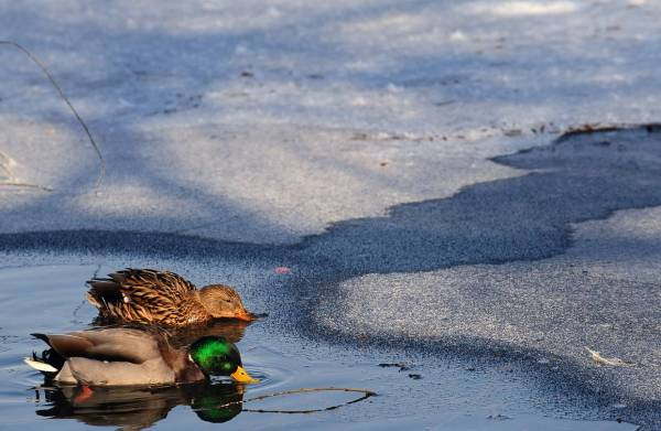 duck-cold-winter