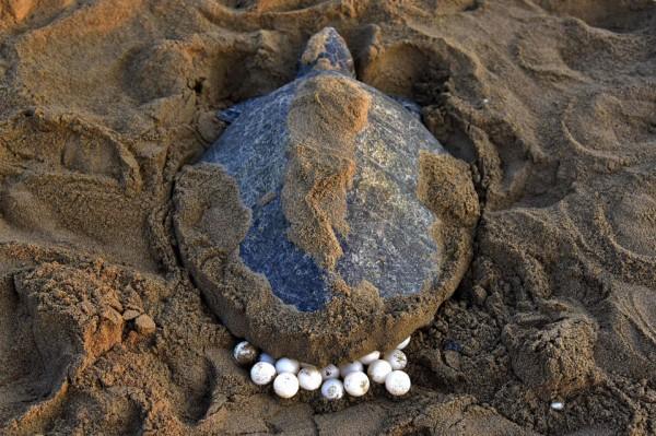 turtle-eggs