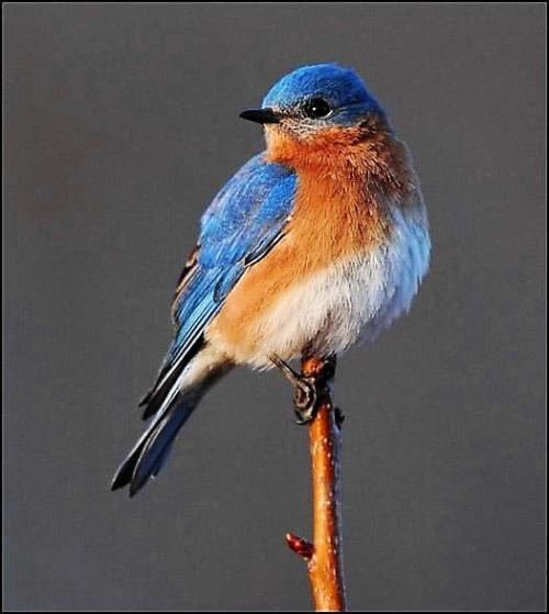 bird-bluebird