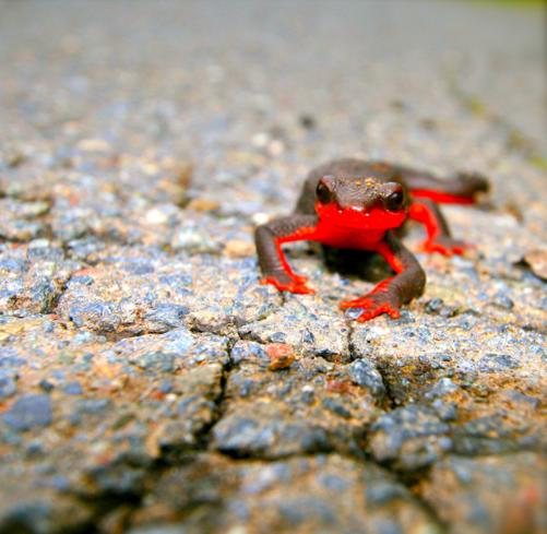 salamander, red