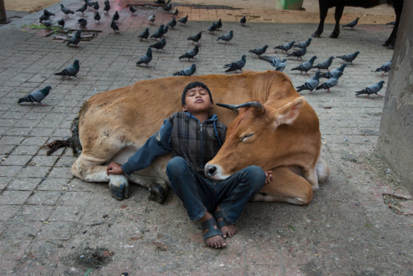 DSC_5311_sf. Nepal, 11/2013. Young boy is resting on a cow.