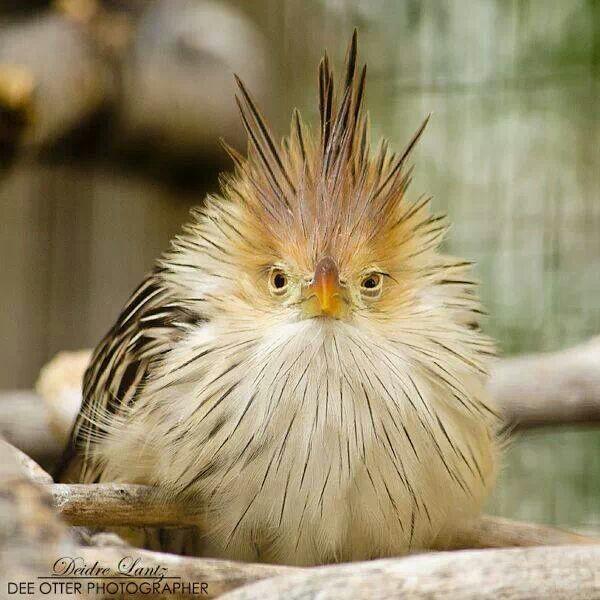 guira-cuckoo-bird