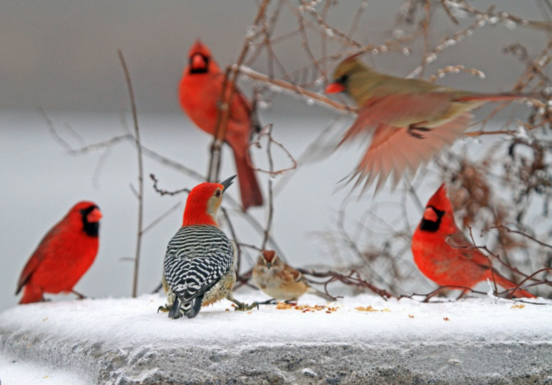 red-birds-at-feeder