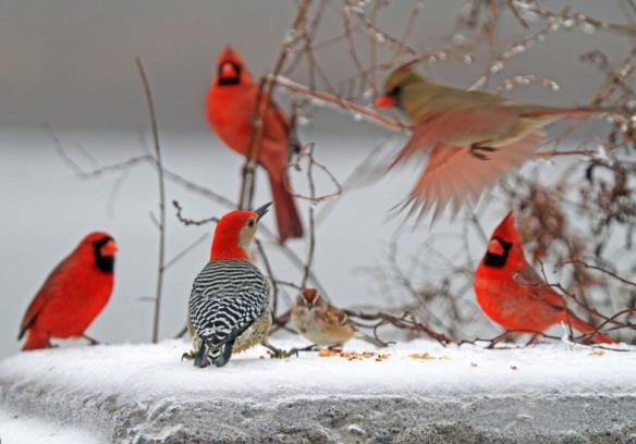 red-birds-at-feeder