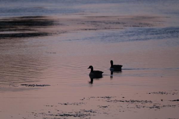 DSCF1156 - geese